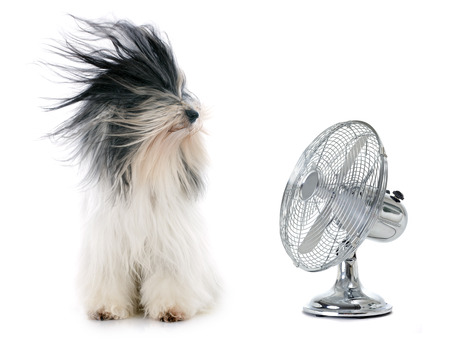 terriers: tibetan terrier and fan in front of white background