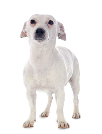 jack russel: portrait of a purebred jack russel terrier in studio