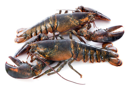 spiny lobster: two lobsters in front of white background Stock Photo
