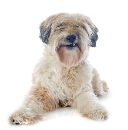 growling: tibetan terrier in front of white background