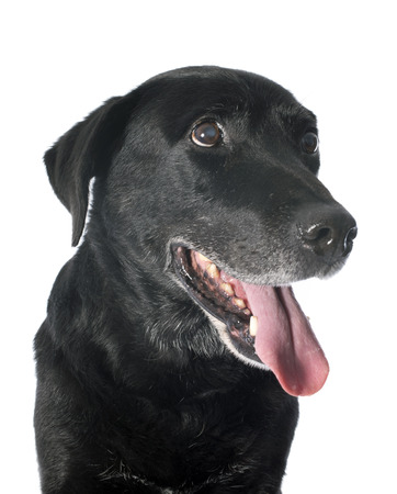 old  labrador retriever in front of a white background photo