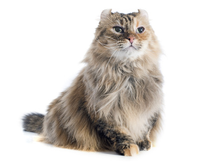 calico cat: american curl cat in front of white background Stock Photo