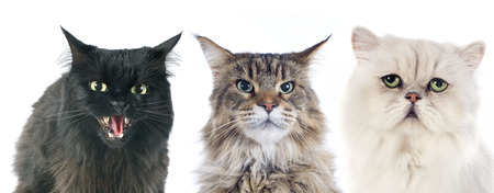 three angry cats  in front of white background photo