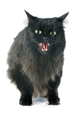 black cat angry in front of white background
