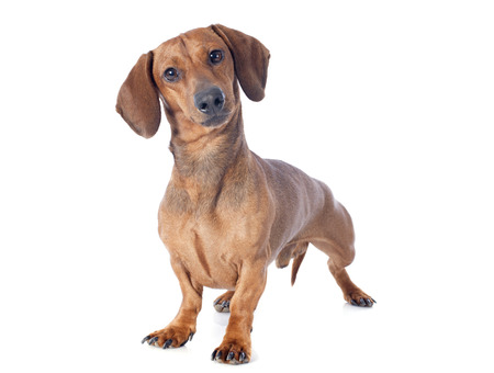 upright: dachshund dog in front of white background Stock Photo
