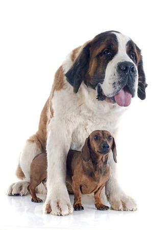 portrait of a purebred Saint Bernard and dachshund dog in a studio Stock Photo