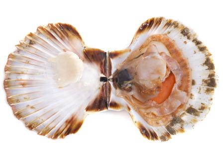 petoncle: coquille Saint-Jacques en face de fond blanc Banque d'images