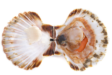 scallop: great scallop in front of white background