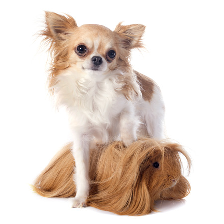 Peruvian Guinea Pig and chihuahua in front of white background photo