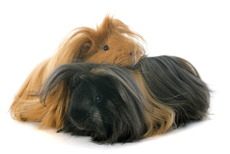 Peruvian Guinea Pigs in front of white background photo