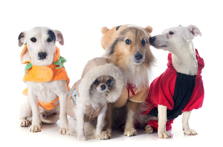 jack russel: dressed dogs in front of white background