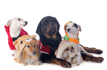 dog in costume: dressed dogs in front of white background