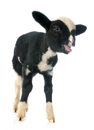 bleating: young lamb in front of white background