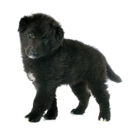picture of a puppy belgian sheepdog groenendael photo