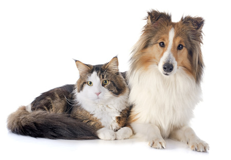 portrait of a purebred shetland dog and maine coon cat in front of white background Stock Photo