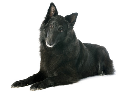 picture of a purebred belgian sheepdog groenendael Stock Photo - 25444769