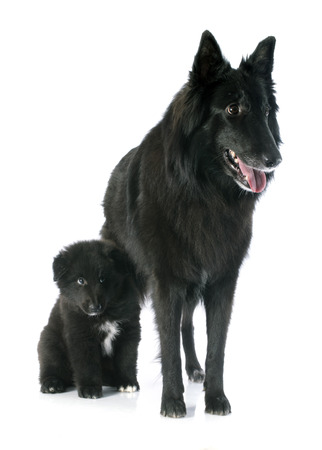 picture of a puppy and adult belgian sheepdog groenendael photo