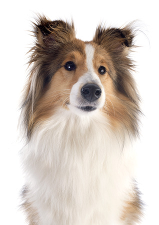 portrait of a purebred shetland dog in front of white