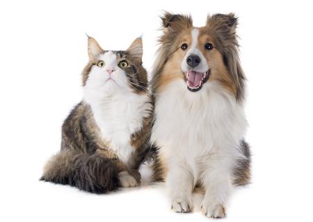 シェトランド諸島の純血犬の肖像画と白の前のメインあらいくま猫