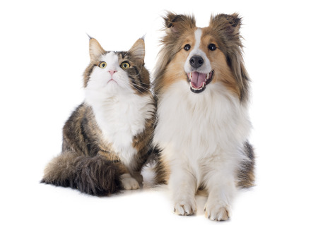 portrait of a purebred shetland dog and maine coon cat in front of white  Фото со стока