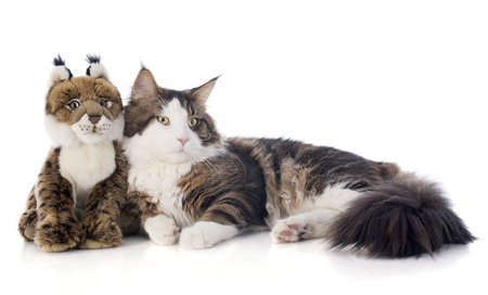 cuddly toy: portrait of a purebred  maine coon cat and cuddly toy on a white