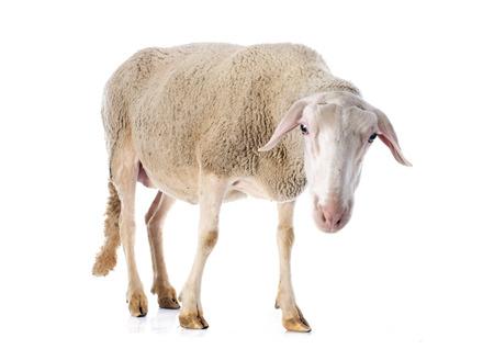 ewe: adult ewe in front of white  Stock Photo