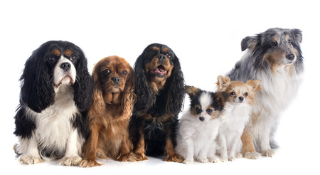 long hair chihuahua: six dogs in front of white