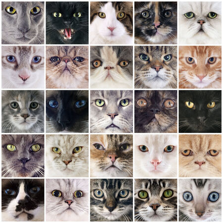 oriental white cat: group of cats in a composite picture