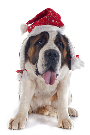 portrait of a purebred Saint Bernard with hat in a studio photo