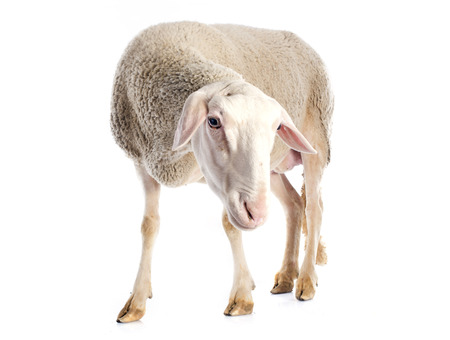 ewe: adult ewe in front of white background