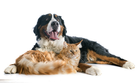 bernese dog: portrait of a purebred bernese mountain dog and maine coon cat in front of white background