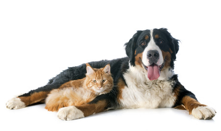 portrait of a purebred bernese mountain dog and maine coon cat in front of white background