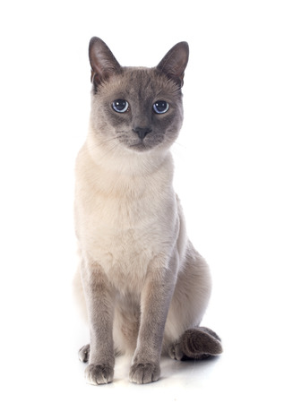 blue siamese cat: beautiful purebred siamese cat in front of white background Stock Photo