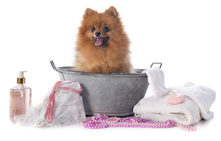 grooming: washing spitz in front of white background Stock Photo
