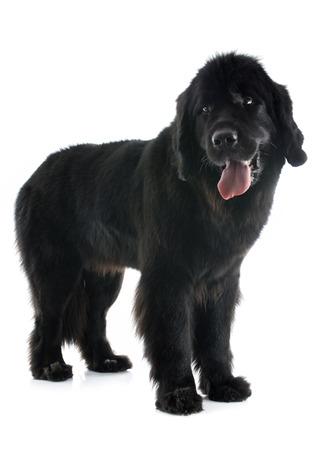 cane terranova: cane terranova di fronte a sfondo bianco