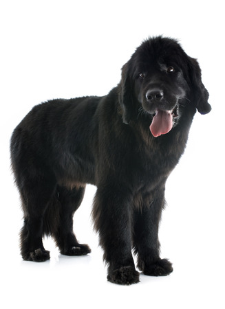newfoundland dog in front of white background
