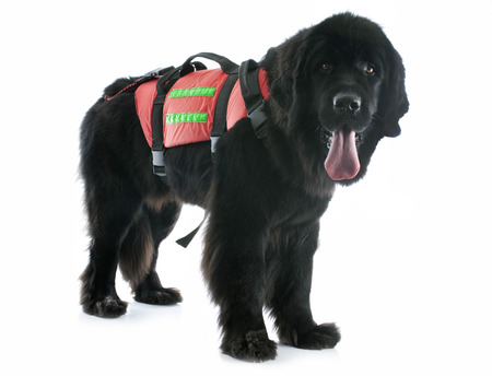 rescue newfoundland dog in front of white background