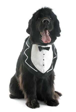 cane terranova: cane di Terranova razza di fronte a sfondo bianco