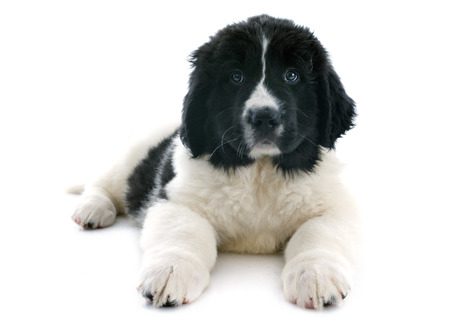 purebred puppy landseer in front of white background photo