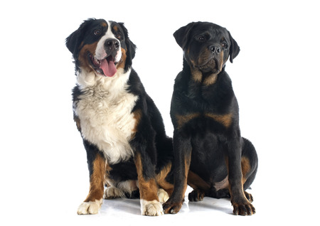 portrait of a purebred bernese mountain dog and rottweiler in front of white background photo