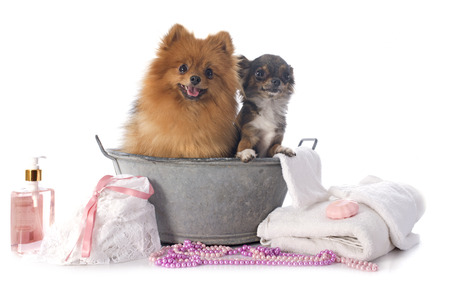 washing spitz and chihuahua in front of white background photo