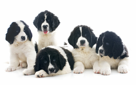 black and white newfoundland dog: purebred landseer puppies in front of white background