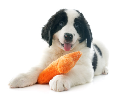 black and white newfoundland dog: purebred puppy landseer in front of white background
