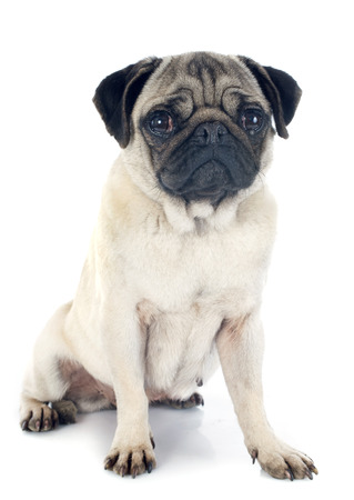 pug dog: young pug in front of white background