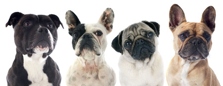 carlin: four purebred dogs  in front of white background Stock Photo