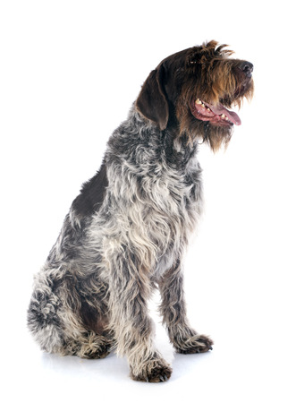 wirehaired: Wirehaired Pointing Griffon in front of white background Stock Photo