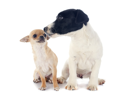 puppy chihuahua and jack russel terrier in front of white background photo