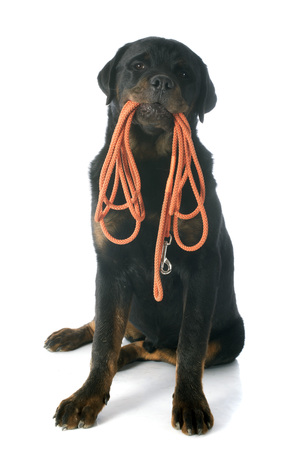 dog leash: portrait of a purebred rottweiler in front of white background