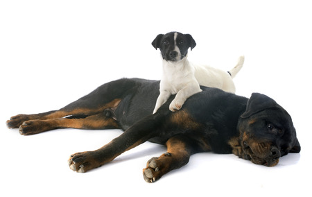 portrait of a purebred rottweiler and puppy jack russel terrier, in front of white background photo