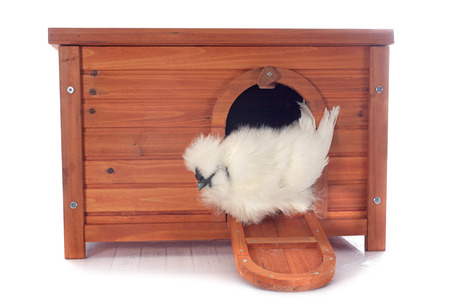 the hutch: hen house and bantam silkie on a white background Stock Photo